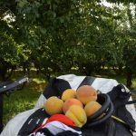 Pfirsiche direkt vom Baum